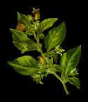 belladonna-1299795_960_720